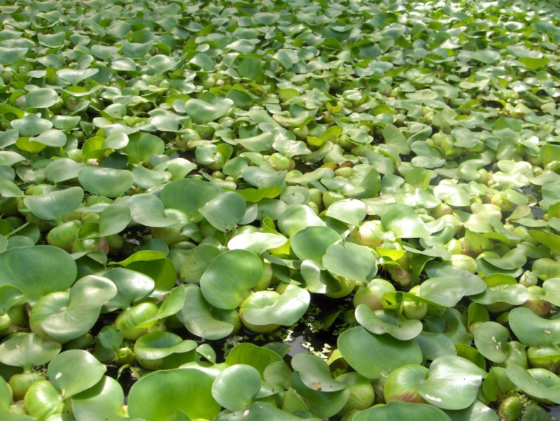 Floating plants for Floating pond plants